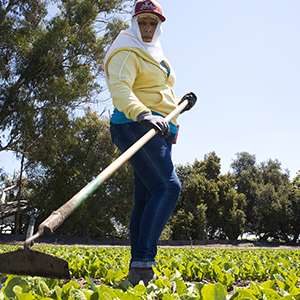 Farmer in Lettuce Field